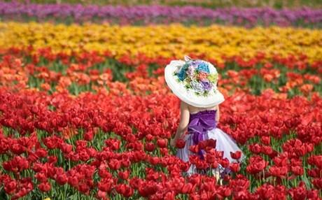 tulipa_b2