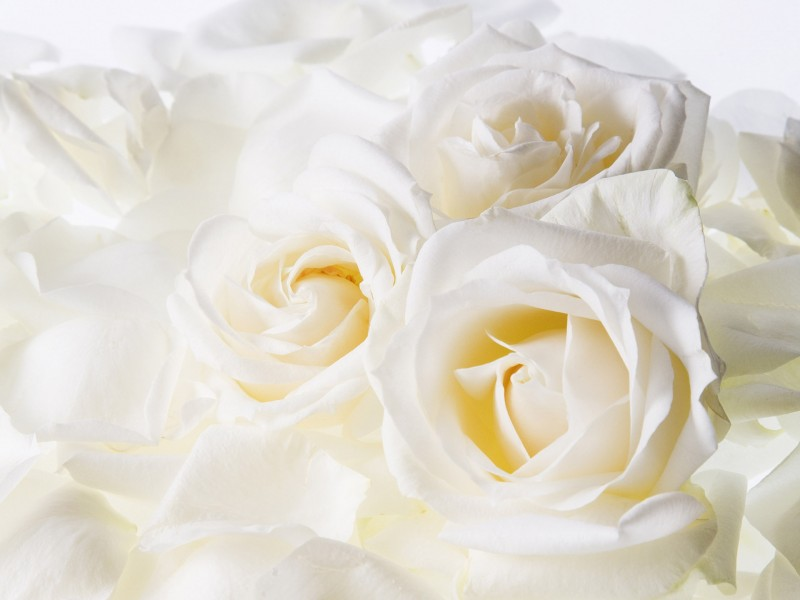 roses_flowers_petals_tenderness_hd-wallpaper-20508