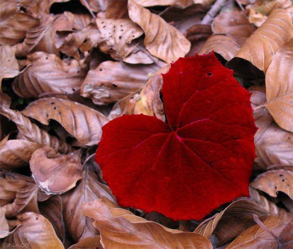 red-leaf3