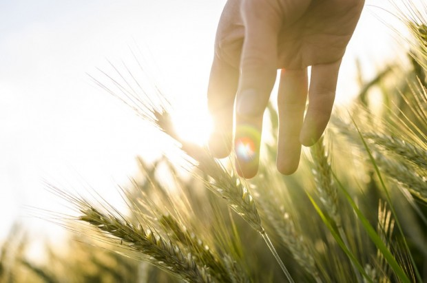 beautiful-wheat-1